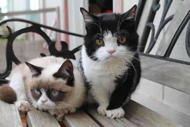 bengals cat breed