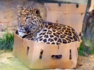 Another big cat enjoying the box.