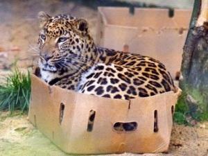 Another big cat enjoying the box.
